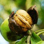 Как посадить грецкий орех чтобы он прижился