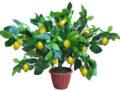 Самый лёгкий, и эффективный способ вырастить цитрусовое дерево.