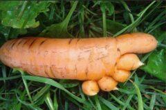 Морковь калорийность и лучшие сорта которые нужно посадить у себя на участке