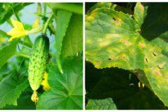 Почему листья огурца желтеют и как снова сделать их зелеными
