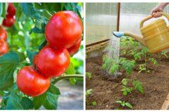 Как правильно поливать и удобрять помидоры